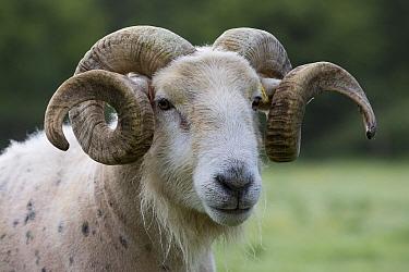 Wilsthire horn sheep with body bare of self shedding fleece, portrait. Surrey, England, UK.