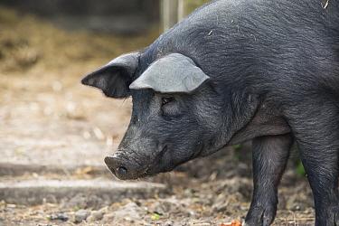 Berkshire pig, portrait of gilt. Surrey, England, UK.