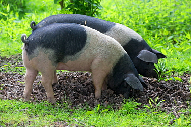 Berkshire pig, two gilts foraging in soil. Surrey, England, UK.