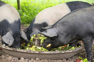 Berkshire pig, three gilts feeding at trough. Surrey, England, UK.