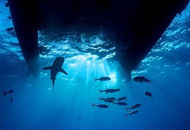 Caribbean reef shark (Carcharhinus perezi) and Horse eye jack (Caranx latus) shoal silhouetted underneath catamaran boat, Bahamas.