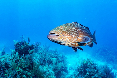 Black grouper (Mycteroperca bonaci) above sea floor. Exuma Cays Land and Sea Park, marine protected area, Bahamas.