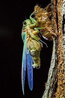 Superb green cicada (Neotibicen superbus) adult emerging from exuvia. Harbour Island, Bahamas.