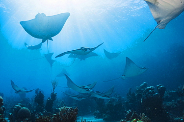 Eagle ray (Aetobatus narinari) shoal over coral reef. Bahamas.