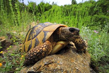 Eastern Hermann's tortoise (Eurotestudo hermanni boettgeri), sub-adult on rock. Makri, Alexandroupoli, Evros, East Macedonia and Thrace, Greece.