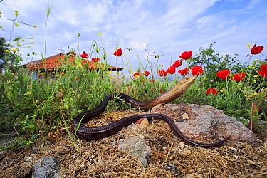 European legless lizard (Pseudopus apodus) on rock amongst Poppy (Papaver rhoeas) flowers. Near Evros River, Loutros, Evros, East Macedonia and Thrace, Greece.