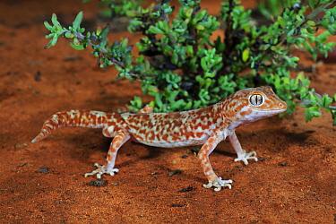 Gibber gecko (Lucasium byrnei) male standing in sand. Near Morgan, Hattah-Kulkyne and Murray-Kulkyne Biosphere Reserve, South Australia. May.