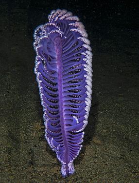 Sea pen (Virgularia gustaviana). Komodo, Indonesia.