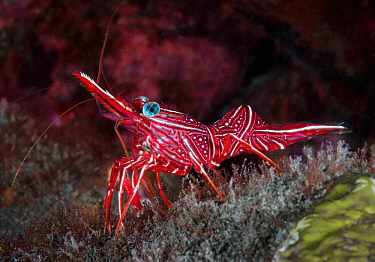 Durban hinge-beak shrimp (Rhynchocinetes durbanensis). Komodo, Indonesia.