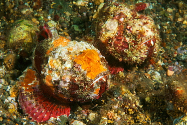 Shortsnout scorpionfish (Scorpaenopsis obtusa) camouflaged against sea floor. Pantar, Alor Archipelago, Indonesia.