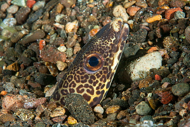 Barred conger eel (Ariosoma fasciatus) head poking through gravel. Pantar, Alor Archipelago, Indonesia.