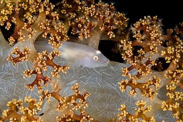 Ghostgoby (Pleurosicya boldinghi) commensal on Soft coral (Dendronephthya sp). Pantar, Alor Archipelago, Indonesia.
