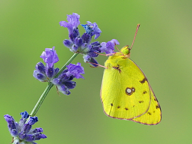 Clouded yellow butterfly (Colias crocea) on lavender, Hertfordshire, England, UK, September. Focus stacked image. Captive.