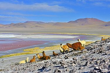 Llama (Lama glama) herd, Laguna colorada. Altiplano, Bolivia.
