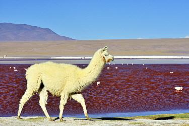 Llama (Lama glama) Laguna colorada. Altiplano, Bolivia.