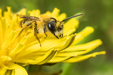 Grey-patched Mining Bee (Andrena nitida) feeding on Dandelion (Taraxacum offinicale) Monmouthshire, Wales, UK. April