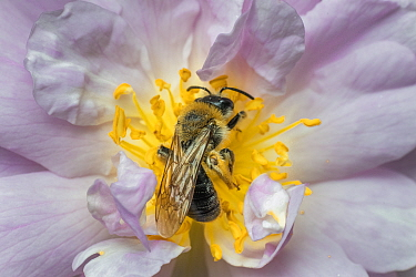 Grey patched mining bee (Andrena nitida),male feeding rambling rose flower (Rosa sp) Monmouthshire, Wales, UK. April