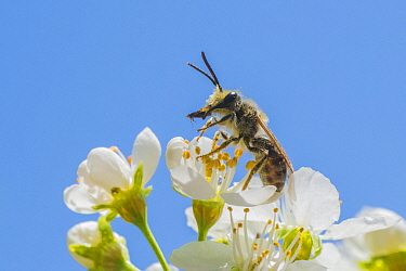 Mining bee (Andrena sp.), harvesting pollen from anthers of Cherry tree (Prunus sp.) Ripon Wisconsin USA, May.