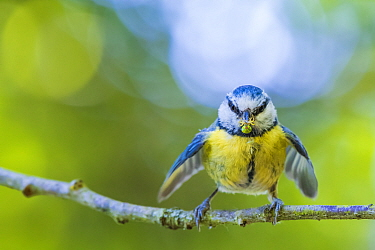Blue tit (Cyanistes caeruleus) bringing Crab spider (Misumena vatia) prey to nest, Monmouthshire Wales, UK, May.