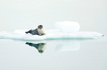 Ringed seal (Pusa hispida) resting on ice, reflected in water. Svalbard, Norway. July.
