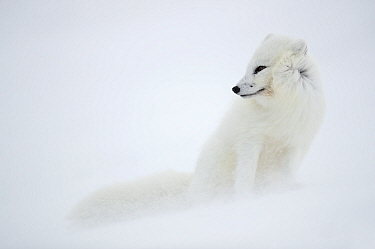 Arctic fox (Alopex lagopus) in winter pelage, camouflaged in snow. Svalbard, Norway, April.