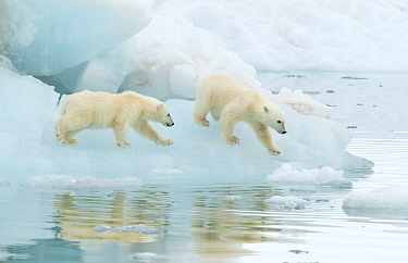 Polar bear (Ursus maritimus), two cubs walking on sea ice. Svalbard, Norway, July.