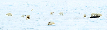 Polar bear (Ursus maritimus) group on ice, female and cubs feeding on Whale carcass. Svalbard, Norway, June 2018.