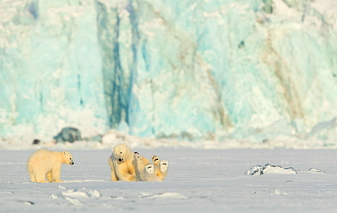 Polar bear (Ursus maritimus) female and cubs play fighting. Svalbard, Norway, March 2018.