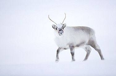 Reindeer (Rangifer tarandus) walking in snow. Svalbard, Norway, April.