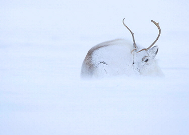 Reindeer (Rangifer tarandus) hunkering down in snow during blizzard. Svalbard, Norway, April.