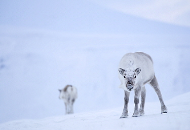 Reindeer (Rangifer tarandus) standing on ridge in snow, another reindeer in background. Svalbard, Norway, April.