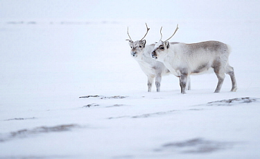 Reindeer (Rangifer tarandus), two standing on ridge in snow. Svalbard, Norway, April.