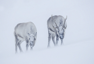 Reindeer (Rangifer tarandus), two standing on ridge in blizzard. Svalbard, Norway. April.