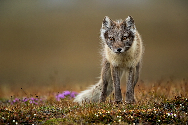 Arctic fox (Alopex lagopus) standing in tundra. Svalbard, Norway, July.