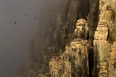 Brunnich's guillemot (Uria lomvia) colony in mist, many birds in flight and nesting on cliffs. Svalbard, Norway, July 2018.