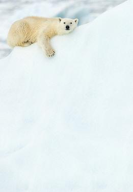 Polar bear (Ursus maritimus) resting in snow. Svalbard, Norway, July.