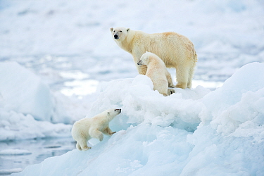 Polar bear (Ursus maritimus) female and cubs, one cub walking up slope of ice in foreground. Svalbard, Norway, July.