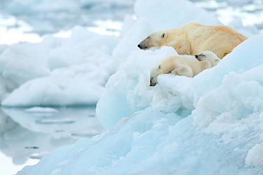 Polar bear (Ursus maritimus) and cubs resting on sea ice. Svalbard, Norway, July.