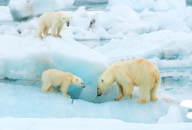 Polar bear (Ursus maritimus) and cubs, standing on sea ice. Svalbard, Norway, July.