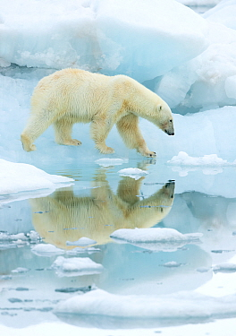 Polar bear (Ursus maritimus) walking across sea ice, reflected in water. Svalbard, Norway, July.