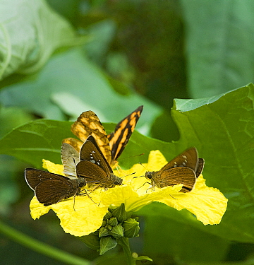 Butterflies and day flying moths feed from Loofah flower (Luffa cylindrica) and pick up pollen on their legs, underside of thorax and antennae, South Sichuan Bamboo Sea, China