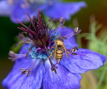Wasp walking around a Spanish love-in-a-mist (Nigella hispanica) flower to sip nectar from ring of blue nectaries, thorax and abdomen pick up pollen from downward facing anthers that swipe over the wa...