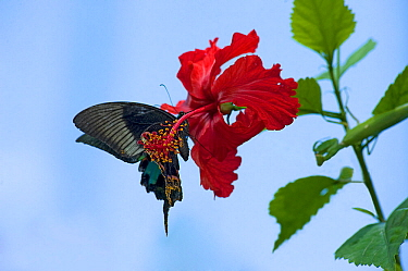 Chinese peacock butterfly (Papilio bianor) drinking nectar from a Hibiscus flower. To maintain position it flaps the wings which pick up pollen on their undersides from the stamens placed on the end o...
