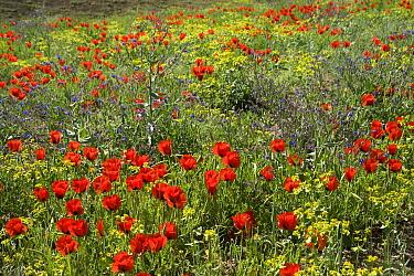 Grand-flowered horned poppies (Glaucium grandiflorum) in southern Turkey, June.