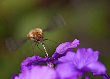 Common bee fly (Bombylius major) hovering whilst nectaring on Honesty (Lunaria annua), proboscis covered with pollen. Nature reserve, Surrey, England, UK. March.