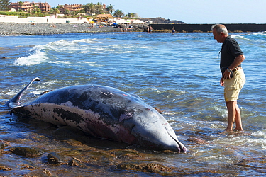 Blainville's beaked whale (Mesoplodon densirostris) washed up dead on beach, man standing in water looking at whale, prior to necropsy to determine reason for death. Tenerife, Canary Islands. 2015...