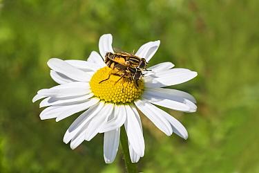 Hoverfly (Helophilus trivittatus) pair mating on Ox-eye daisy (Leucanthemum vulgare) flower. Cheshire, England, UK. June.