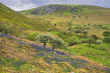Hawthorn (Crataegus monogyna) blossoming in carpet of Bluebell (Hyacinthoides non-scripta), hills in background, Aber Valley, Gwynedd, Wales, UK. May 2019.