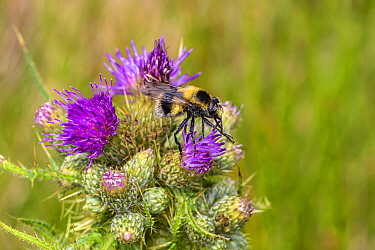 Hoverfly (Volucella bombylans), bumblebee mimic nectaring on Thistle (Cirsium sp) flower. North Wales, UK. June.