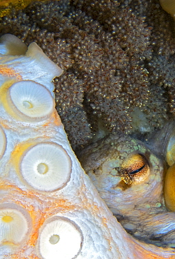 Common octopus (Octopus vulgaris) female laying eggs, tentacles and eye visible amongst eggs. Tenerife, Canary Islands.